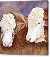 Simmental Bulls Canvas Print