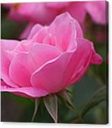 Simplicity Floribunda Rose Canvas Print