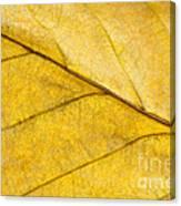 Simply Beech Canvas Print