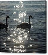 Singing Trumpeter Swans Duet  Canvas Print