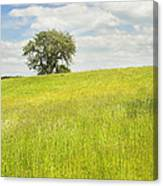 Single Apple Tree In Maine Hay Field Canvas Print