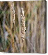 Single Blade Of Tall Field Grass Canvas Print