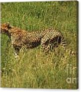 Single Cheetah Running Through The Grass Canvas Print