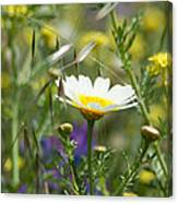 Single Daisy In A Field Canvas Print