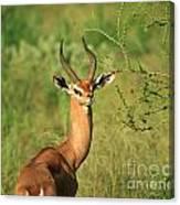 Single Grant's Gazelle Canvas Print