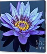 Single Lavender Water Lily Canvas Print