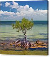 Single Mangrove Tree In The Gulf Canvas Print