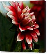 Single Red Dahlia Canvas Print