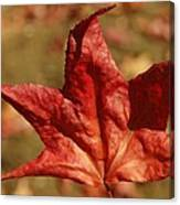 Single Red Maple Leaf Canvas Print