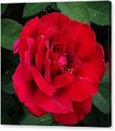 Single Red Rose Canvas Print