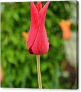 Single Red Tulip Canvas Print