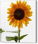 Single Sunflower Canvas Print