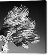 single top of Palm Tree blowing in a very strong wind against a blue sky Tenerife Canary Islands Spain Canvas Print