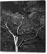 Single Tree With New Spring Leaves In Black And White Canvas Print