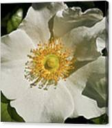 Single White Rose Db Canvas Print