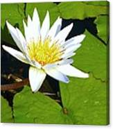Single White Water Lily Canvas Print