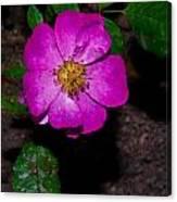 Single Wild Rose Canvas Print