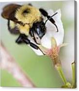 Sipping Nectar Canvas Print