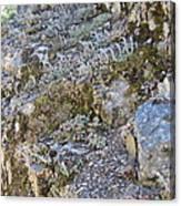 Siskiyou Sedums Canvas Print
