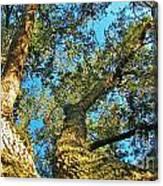 Sister Oaks Canvas Print