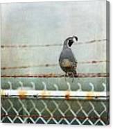 Sittin' On The Fence Canvas Print