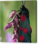 Six Spotted Burnett Moth Canvas Print