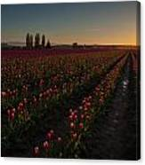 Skagit Dusk Tulip Fields Canvas Print