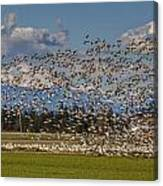 Skagit Snow Geese Liftoff Canvas Print