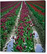 Skagit Valley Tulips Canvas Print