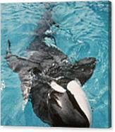 Skana Orca Vancouver Aquarium Pat Hathaway Photo1974 Canvas Print