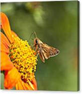Skipper Butterfly On An Orange Flower Canvas Print