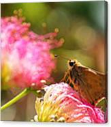 Skipper Butterfly On Mimosa Flower Canvas Print