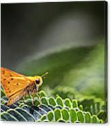 Skipper Butterfly On Mimosa Leaf Canvas Print