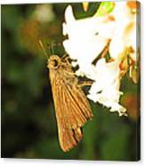 Skipper Butterfly Two Canvas Print