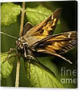 Skipper Moth Canvas Print