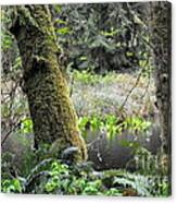 Skunk Cabbage Blooming In Washington State Forest  3 Canvas Print