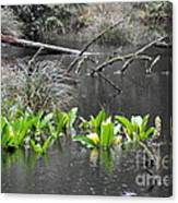 Skunk Cabbage Blooming In Washington State Forest  4 Canvas Print