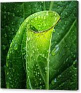 Skunk Cabbage Square Canvas Print