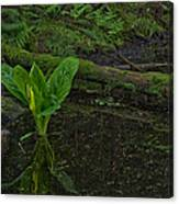 Skunk Weed Cabbage In The Pond Canvas Print