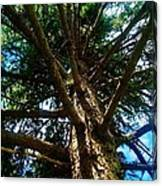 Skyward Spruce Canvas Print