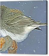 Slate Colored Junco Female Canvas Print