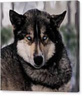 Sled Dog Resting Canvas Print
