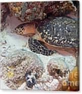 Sleeping Hawksbill Sea Turtle Canvas Print