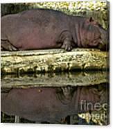 Sleeping Hipo Reflects Canvas Print