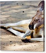Sleeping Kangaroo Canvas Print