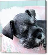 Sleeping Mini Schnauzer Canvas Print