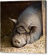 Sleeping Pig Canvas Print