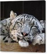 Sleeping Snow Leopard Canvas Print