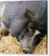 Sleeping Sow Canvas Print
