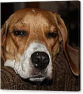 Sleepy Beagle Canvas Print